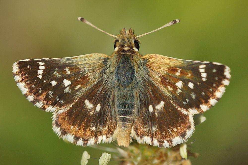 Photo in Random #2014 #2014-07 #aaaa #arthropoda #butterfly #cevennes #date #dickkopffalter #europa #falter #france #henk wallays #hesperiidae #hespérie des sanguisorbes #insect #kalkgraslanddikkopje #location #lepidoptera #mariposa #nyugati törpebusalepke #powszelatek sertor #red-underwing skipper #roter würfel-dickkopffalter #rousson #schmetterlinge #sertorio #soumračník skořicový #spialia #spialia sertorius #súmračník škoricový #tagfalter #vlinders #butterflies #close up #dagvlinder #dikkopje #dikkopjes #insecta #insecte #insekt #lepidoptera #lepido