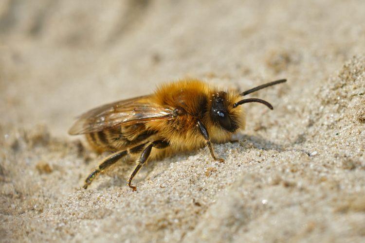 Photo in Nature #aaaa #arthropoda #arthropods #bees #colletes #colletes cunicularius #colletidae #early cellophane bee #ecology #grote zijdebij #hymenoptera #insect #nature #seidenbiene #seidenbienen #bee #bees #close up #colletid bees #macro #male #nature #plasterer bee #plasterer bees #pollinator #solitary bee #solitary bees #spring mining bee #vernal colletes #wildlife #yellow-faced bee #yellow-faced bees #zijdebij #zijdebijen
