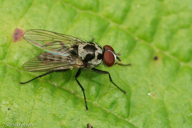 Photo in Macro #aaaa #arthropoda #anthomyia #anthomyia procellaris #anthomyiidae #diptera #henk wallays #insect #nature #close up #flies #fly #macro #mouche #nature #natuur #tweevleugeligen #vlieg #wildlife