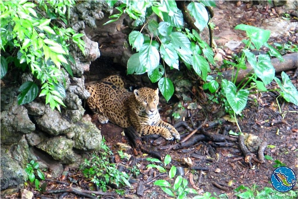 Photo in Travel #jaguar. #tuxtla gutierrez #chiapas #zoomat #mexico #zoo