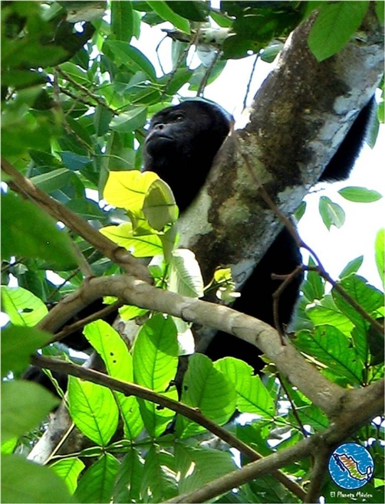 Photo in Travel #mono #aullador. #howler #monkey. #chiapas #mexico