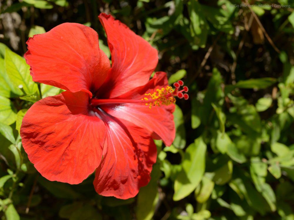 Photo in Nature #flower #hibiscus #plant #bloom #sun #sunlight #red #greeen #bokeh