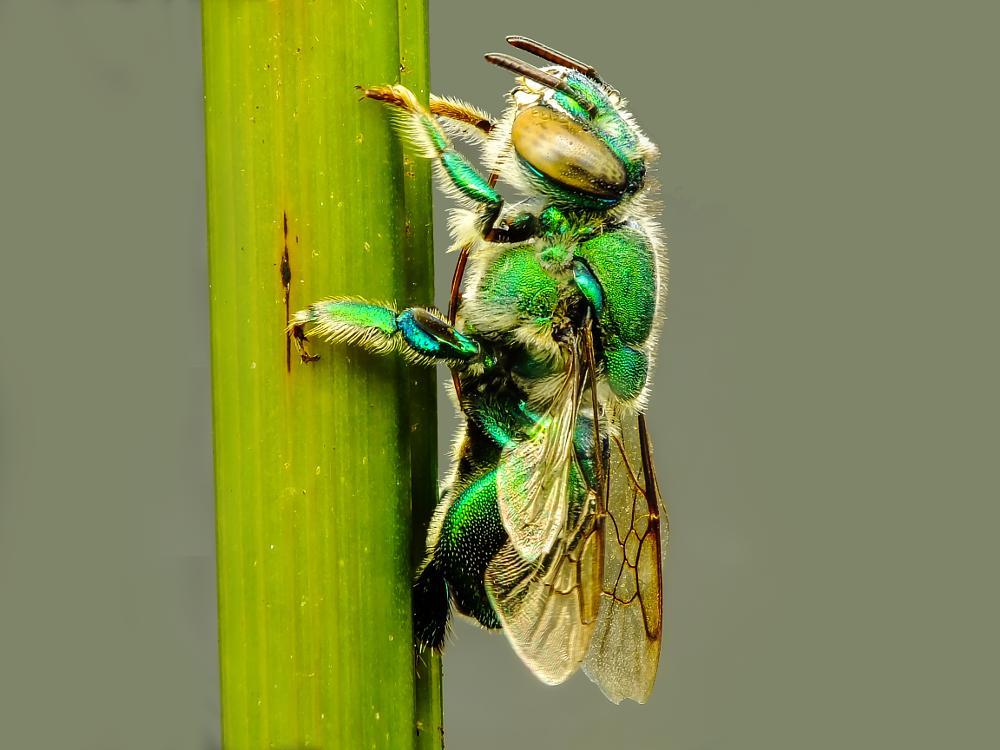 Photo in Macro #raynox #fuji #nature #natureza #macro #belém #pará #brazil #amazônia #abaetetuba #inseto #abelha #bee