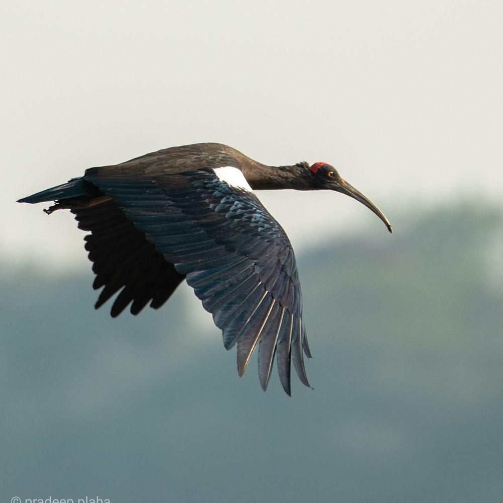 Photo in Animal #ibis #birds #birds flying #animals #wild life