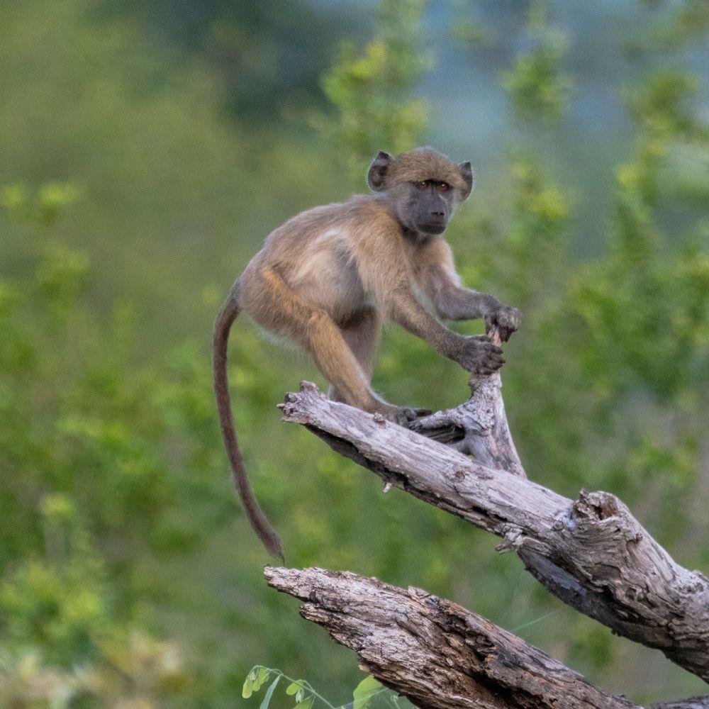 Photo in Animal #outdoors #nature #baboon #monkey #baby #alert #forest #wildlife #watchful #travel #volunteer #adventure #africa #zimbabwe