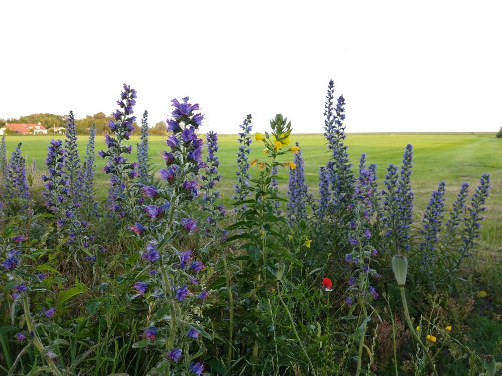 Photo in Random #schiermonnikoog #nederland #plants #wildflowers #wildebloemen #natuur