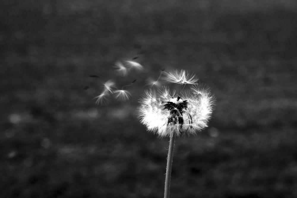 Photo in Nature #dandelion