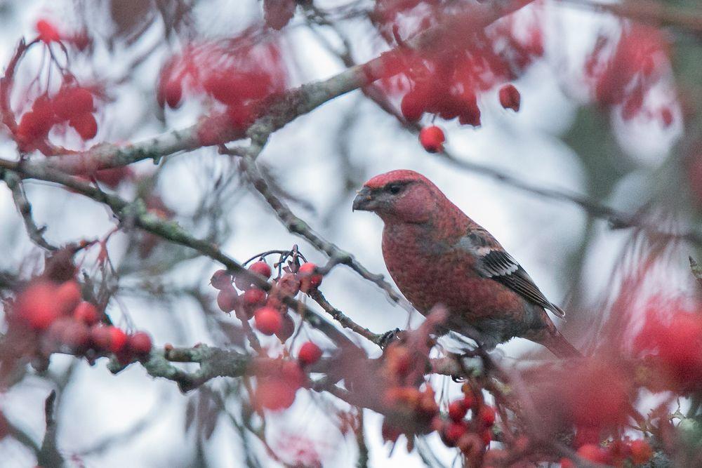 Photo in Nature #finch #berries #beautiful #bird #birding