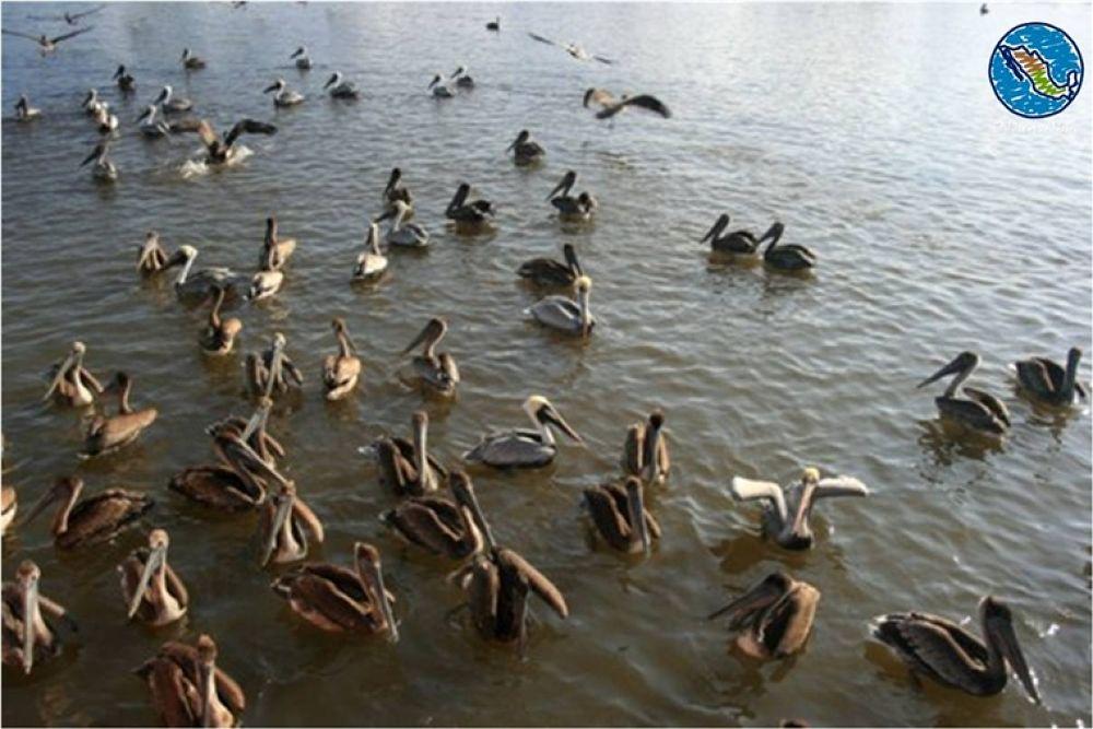 Photo in Travel #celestun #yucatan #pelicans
