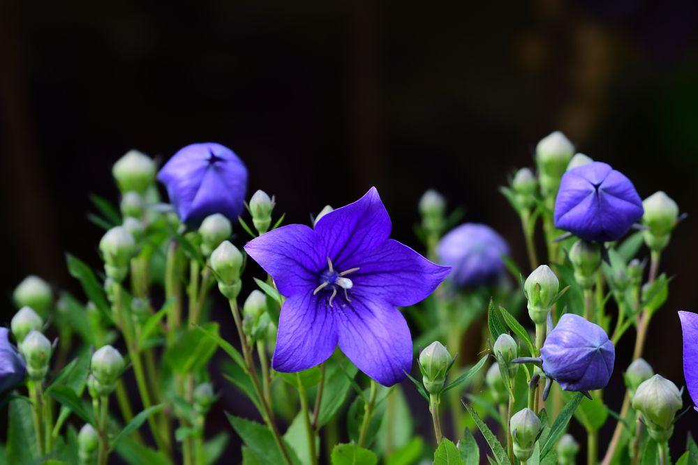 Photo in Nature #flower #blue #pollon #balloon flower