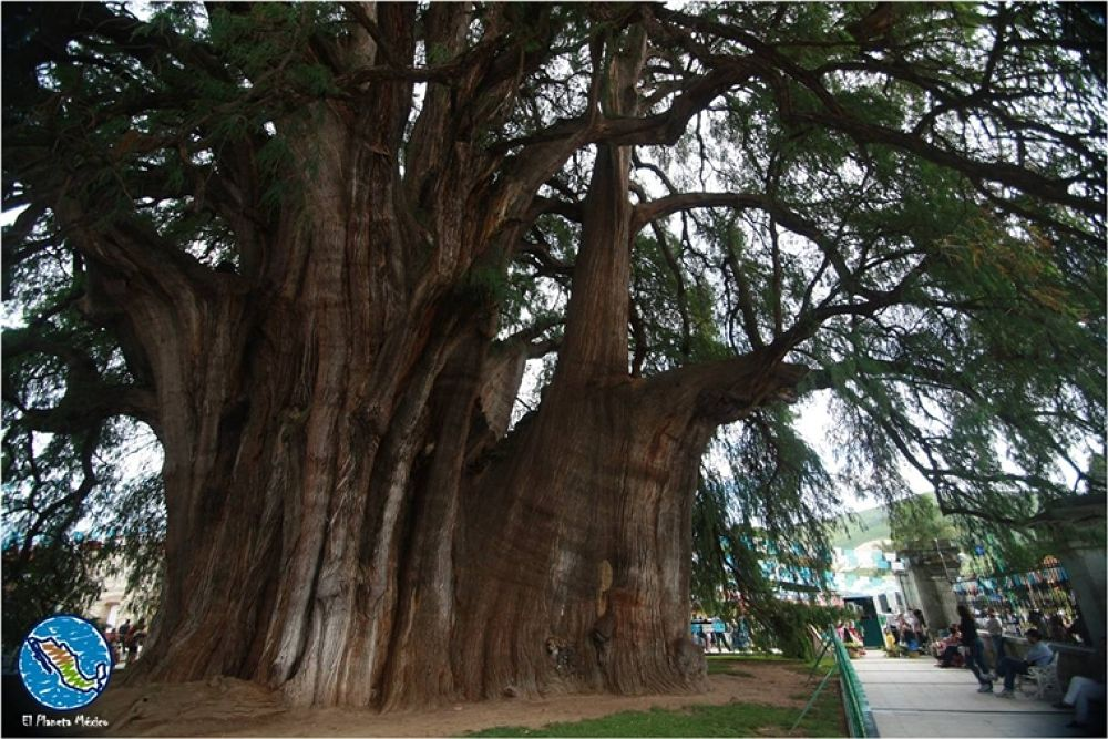 Photo in Travel #tule tree #árbol del tule #oaxaca #mexico