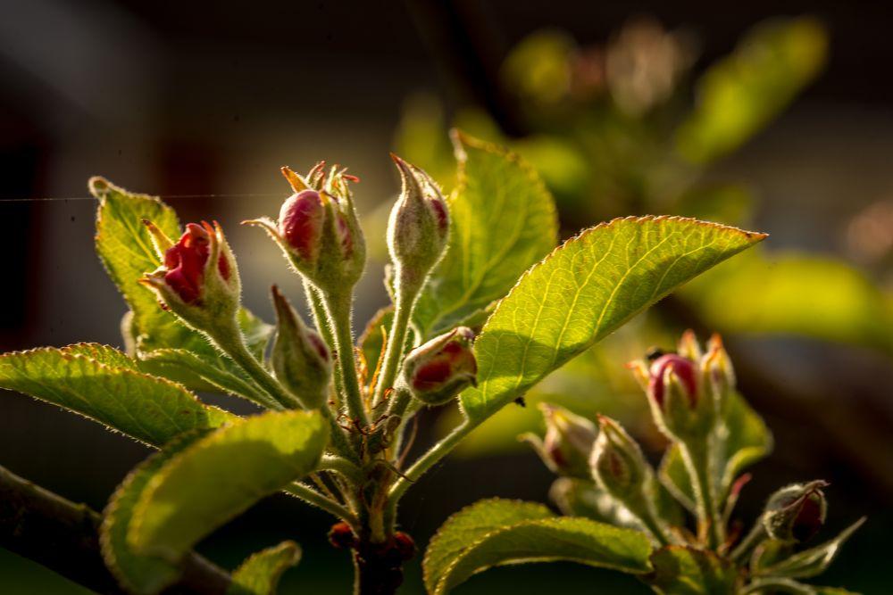 Photo in Macro #appleflower #flower #springflower #springflowers #sunset #sunshine #sunlight #leaf #leaves #nature #naturephoto #naturelover #macrophoto #macro #macroart #macrophotograph
