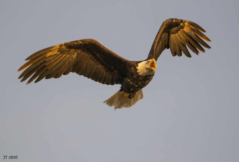 Photo in Nature #baldeagle nature birdsflying