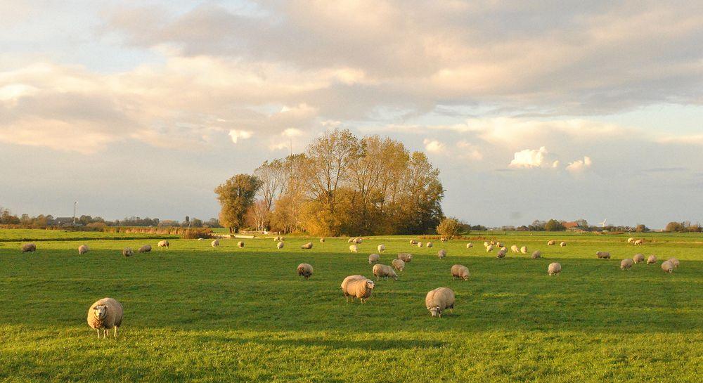 Photo in Landscape #landscape #sheep trees #dokkum