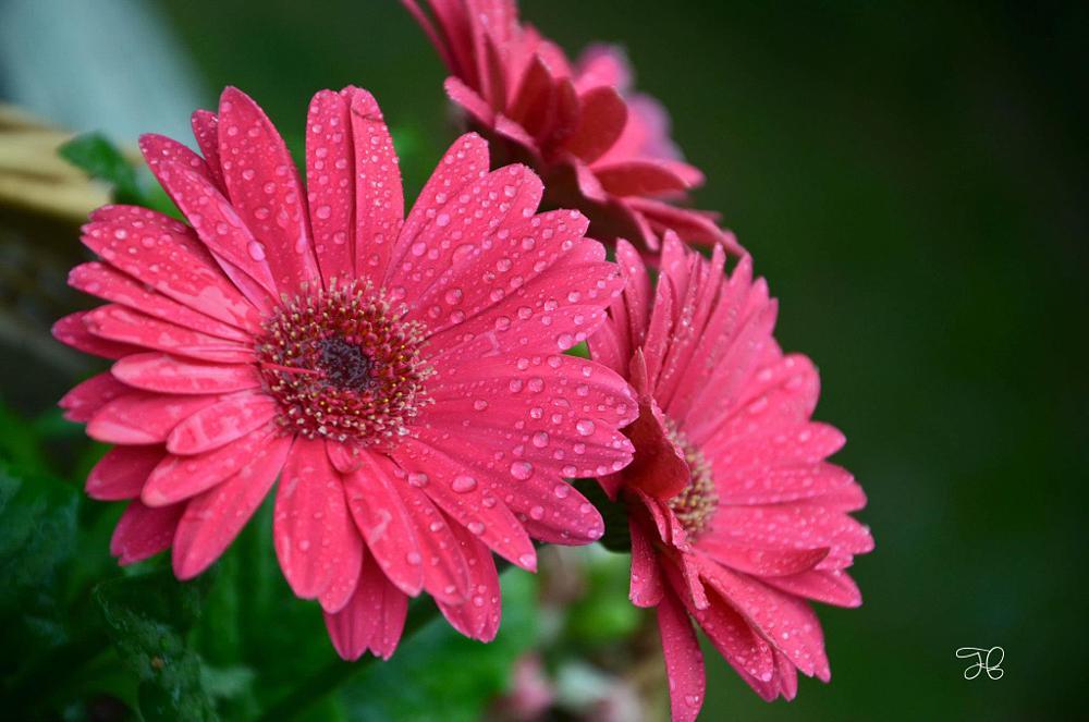 Photo in Macro #daisies summer alabama niko