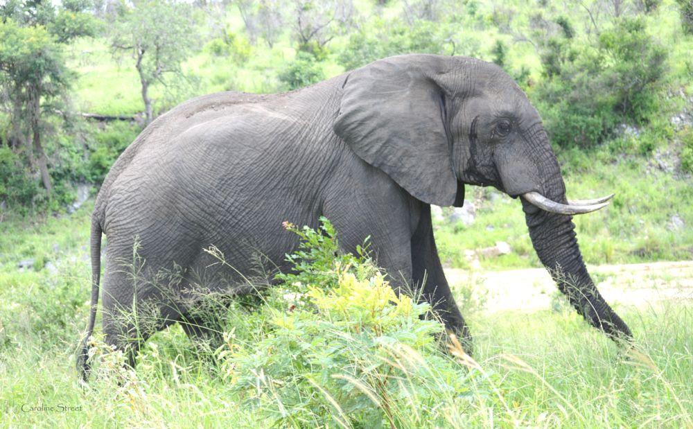 Photo in Animal #elephants #african elephants #wildlife in africa #wildlife of kruger park #elephants in natural habitat #caroline street photography #large land animals #gentle giants #african savanna