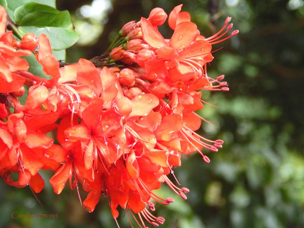 Photo in Nature #flowers #glory bower #red flower #nature #plants #shrubs #flowers with raindrops