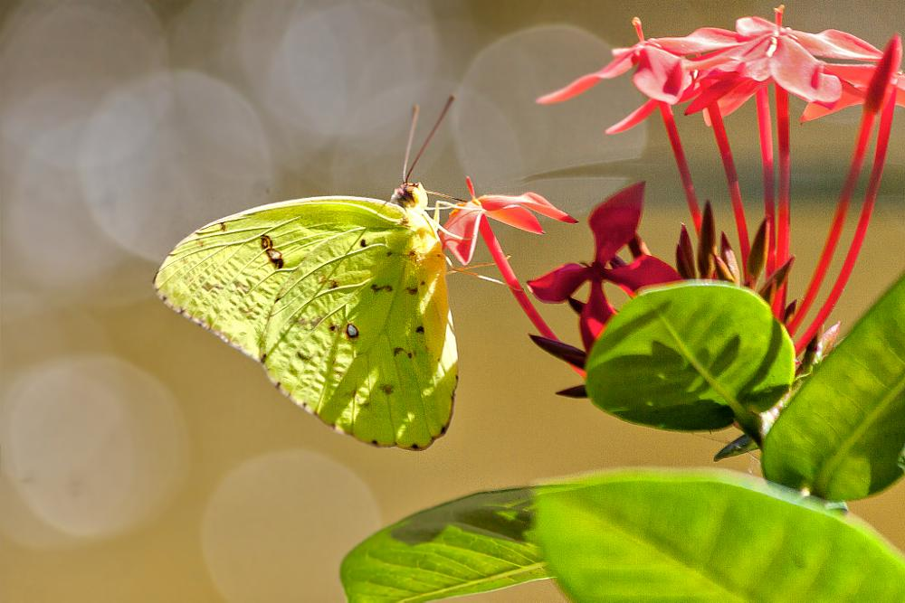 Photo in Nature #butterfly #yellow #insect #close up #red #flowers #bokeh
