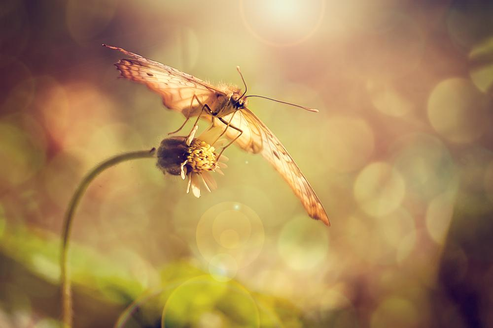 Photo in Macro #butterfly #insect #macro #tridax #procumbens #flower #weed #grass #sunflare #bokeh