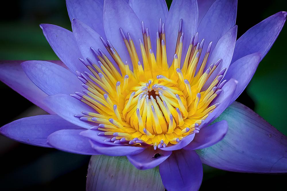 Photo in Macro #blue #lotus #center #flower #macro