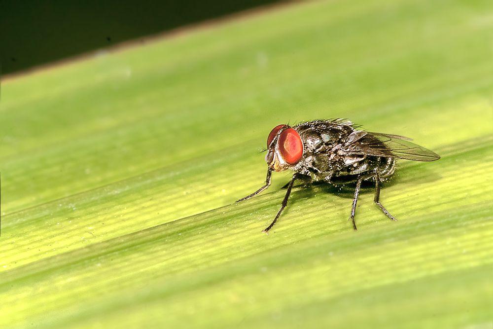 Photo in Macro #fly robin fly #fly #insect #macro