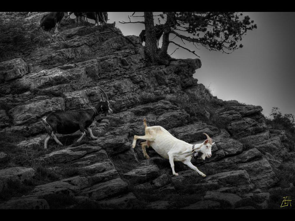 Photo in Animal #mountain #goat #black&white #rocks