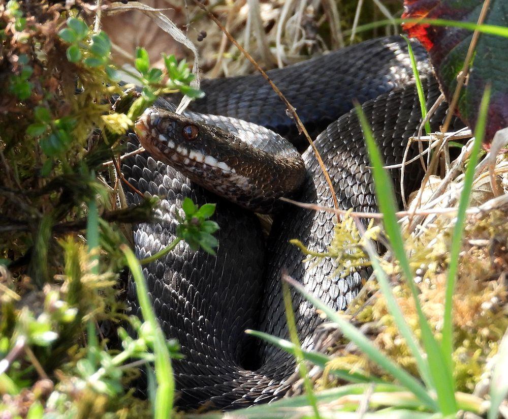 Photo in Animal #snake #black #reptile