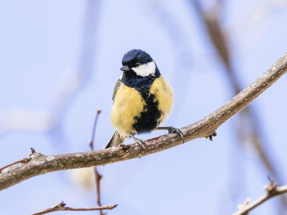Photo in Random #cinciallegra #bird #uccelli #primavera #spring #bif