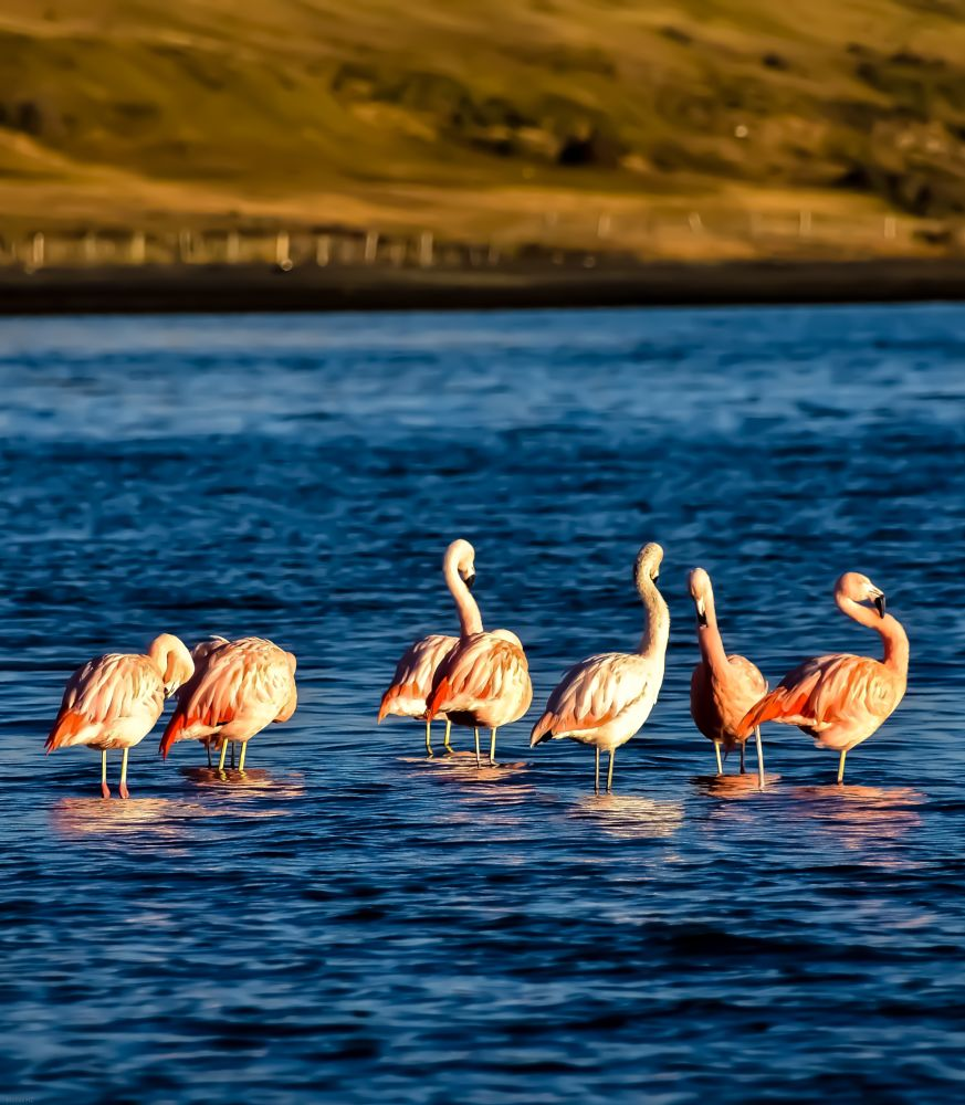 Photo in Animal #aves de chile #sur de chile #tierradelfuego #achilepoh #killstore #lomejorcl #foteroscl #fotografía chilena #fotografoschile7 #chilefotos #chilecapturas #flamenco #flamencos #photooftheday #photographers #naturelovers #nature photographers #landscape #natgeo #naturaleza #natgeochile #natgeo wild #nationalgeopraphic #porvenir #primer plano #nikon #nikonistas #patagonia chilena #patagonie