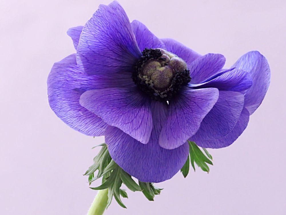 Photo in Macro #anemone #natur #pflanze #stiel #blätter #pollen
