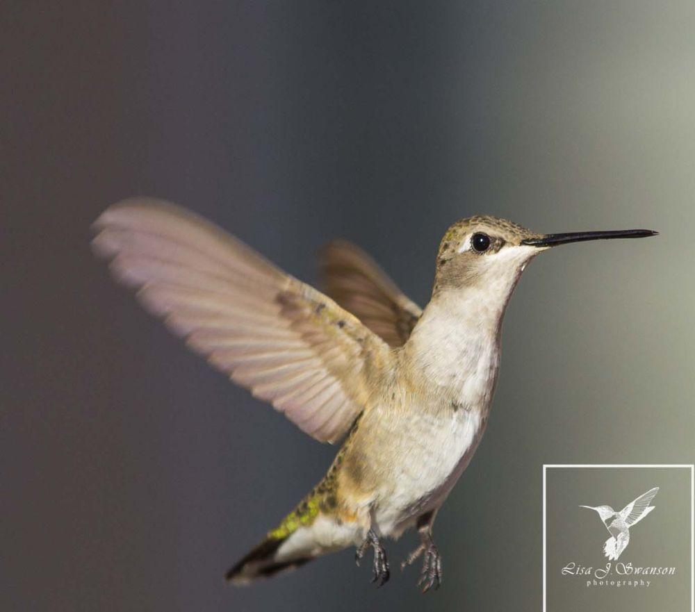 Photo in Animal #animal #nature #random #hummingbirds