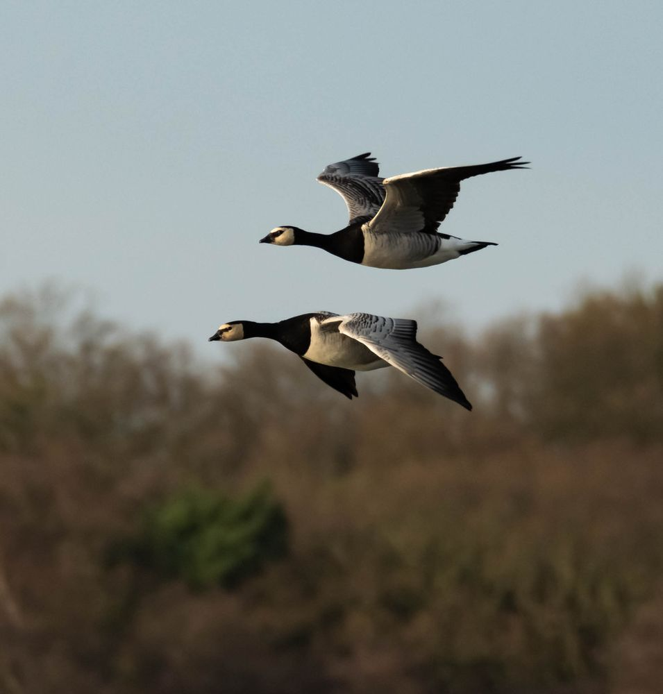 Photo in Nature #geese #goose #barnacle geese #conservation #photography #wildlife #wildlife photography #minsmere #close formation