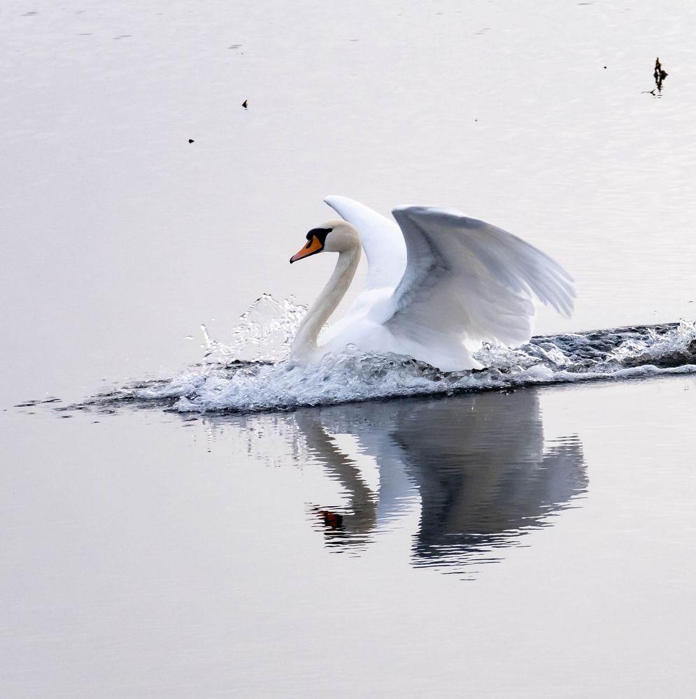 Photo in Nature #swan #landing #wildbird #touchdown #muteswan #nature #naturereserve #conservation
