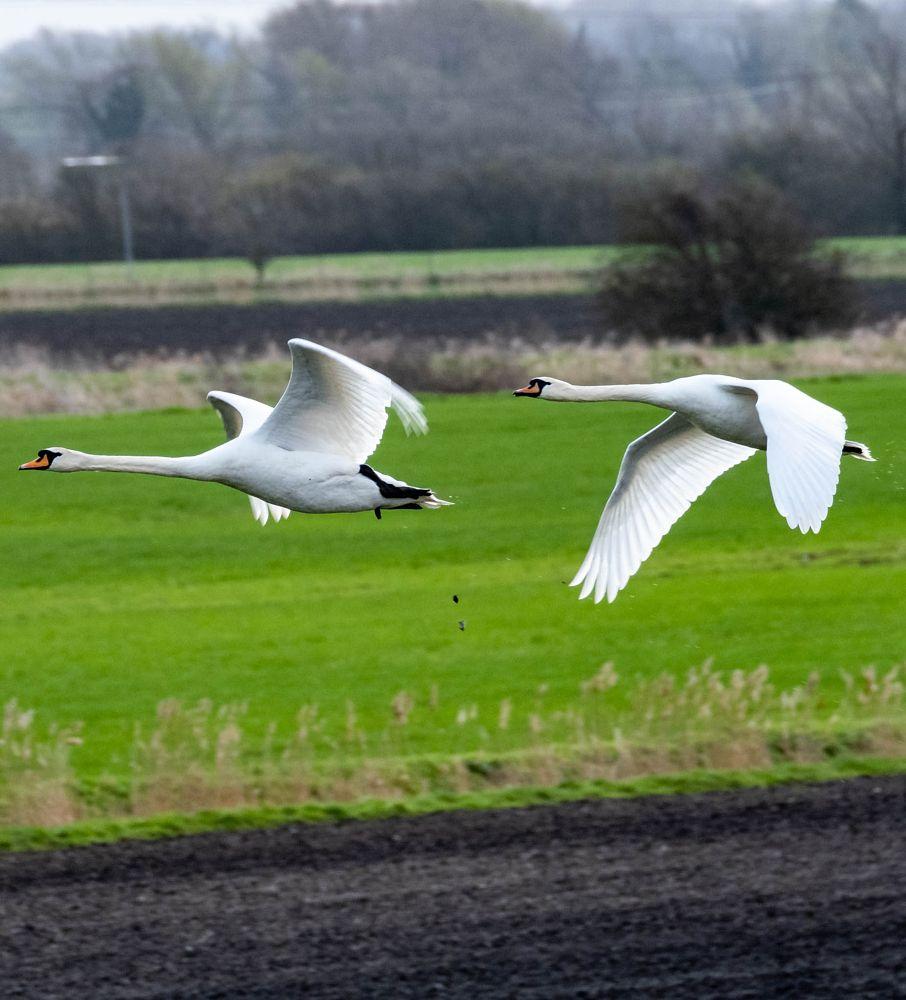 Photo in Nature #swan #swans #mute swan #waterfowl #wickenfen #majestic #wildbirds #wildlife #conservation