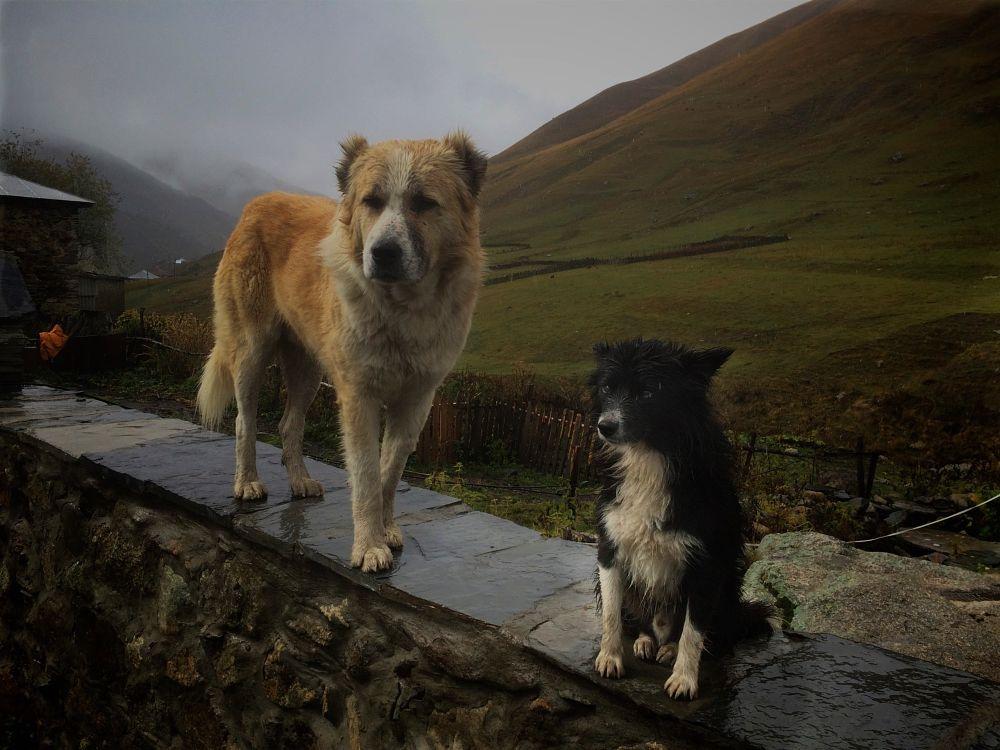 Photo in Animal #georgia #ushguli #dogs