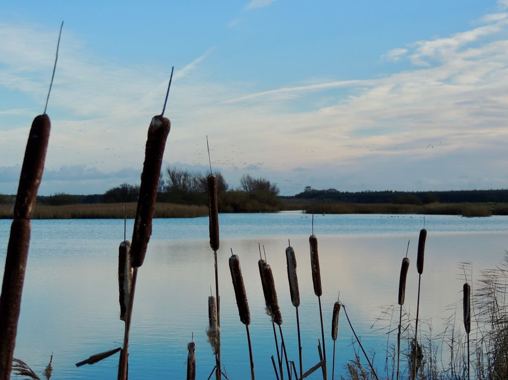 Photo in Nature #wexford #ireland #slobs #bullrushes #nature #clouds #water