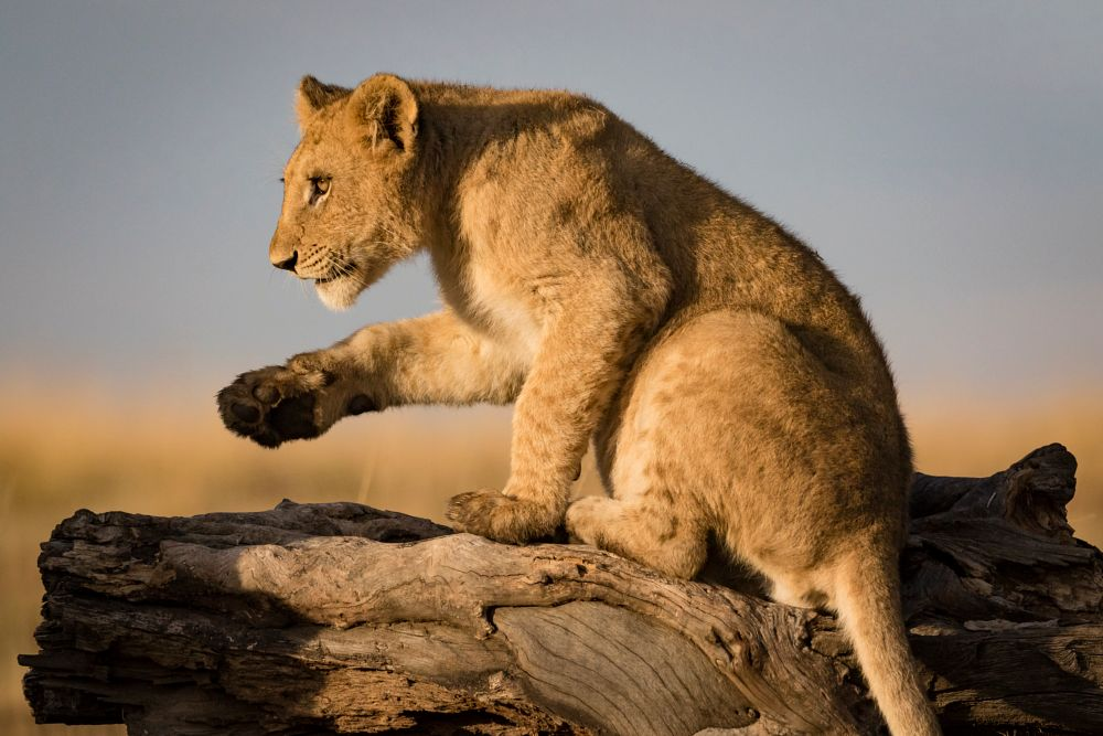 Photo in Animal #babies #big5 #bigcats #cubs #cute #hour #lioness #lions #magic #morning #pride #sunrise #mara #north #conservancy