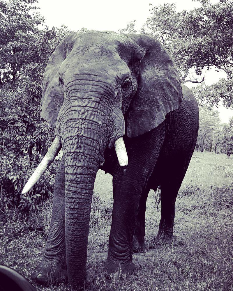 Photo in Animal #animal #elephant #nature #blackandwhite