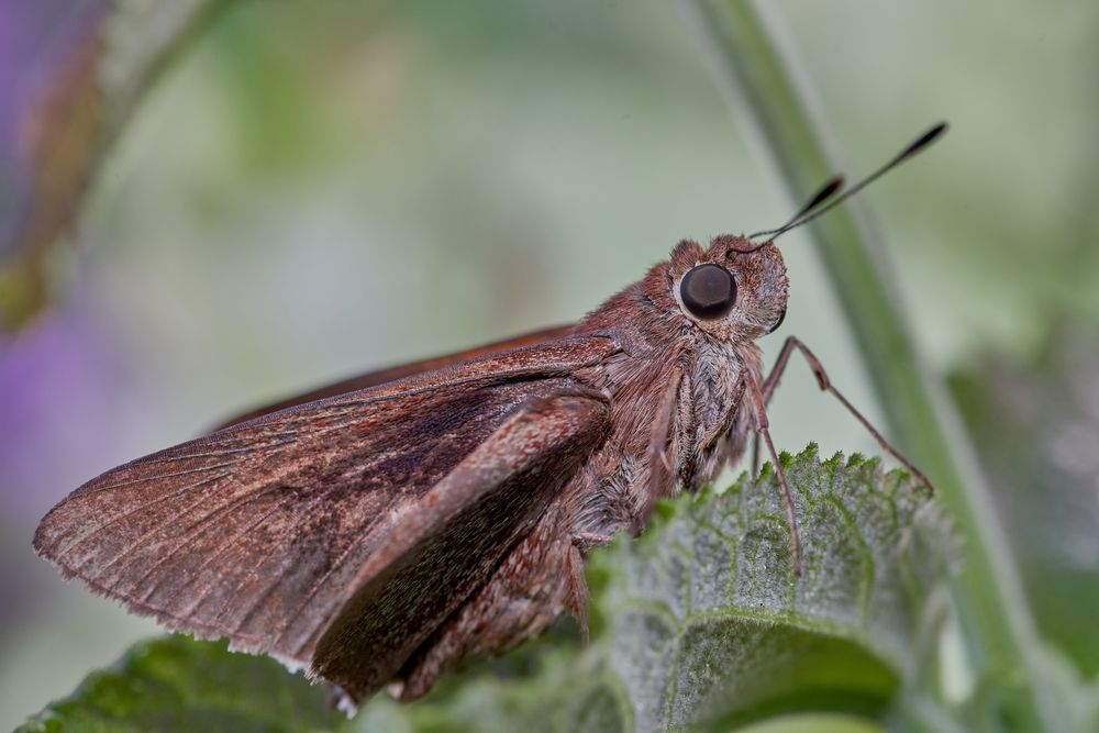 Photo in Macro #butterfly #skipper #insect #animal #garden #nature #macro
