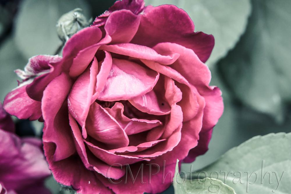 Photo in Nature #rose #dragan #red #pink #magenta #purple #flower #nature #cmphotography1024 #spring