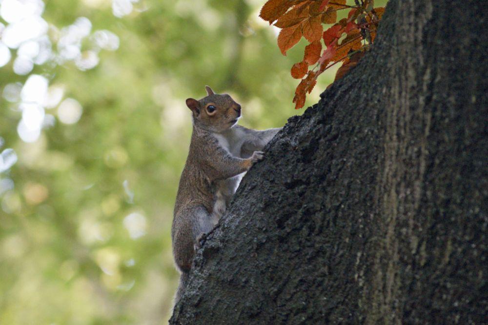 Photo in Nature #squirrel #autumn #www.souterpics.com #leaves