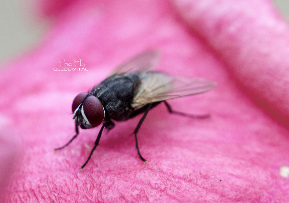 Photo in Animal #fly #mosca #macro #flower #flor