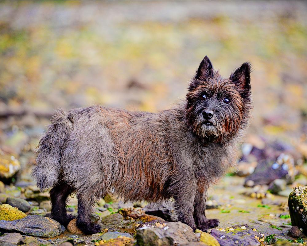 Photo in Animal #dog #cain terrier #rocks #beach #water #winter #b;ack