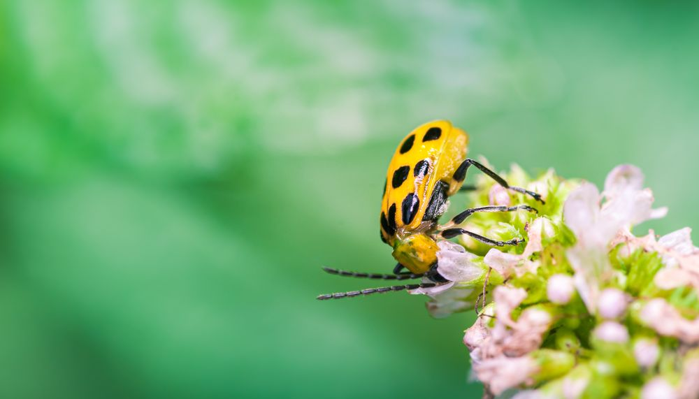 Photo in Macro #insect #yellow beetle #cucumber beetle #floral #flower #macro #closeup
