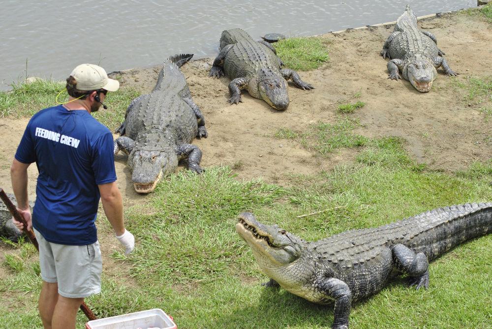 Photo in Animal #alligators; feeding time; gato