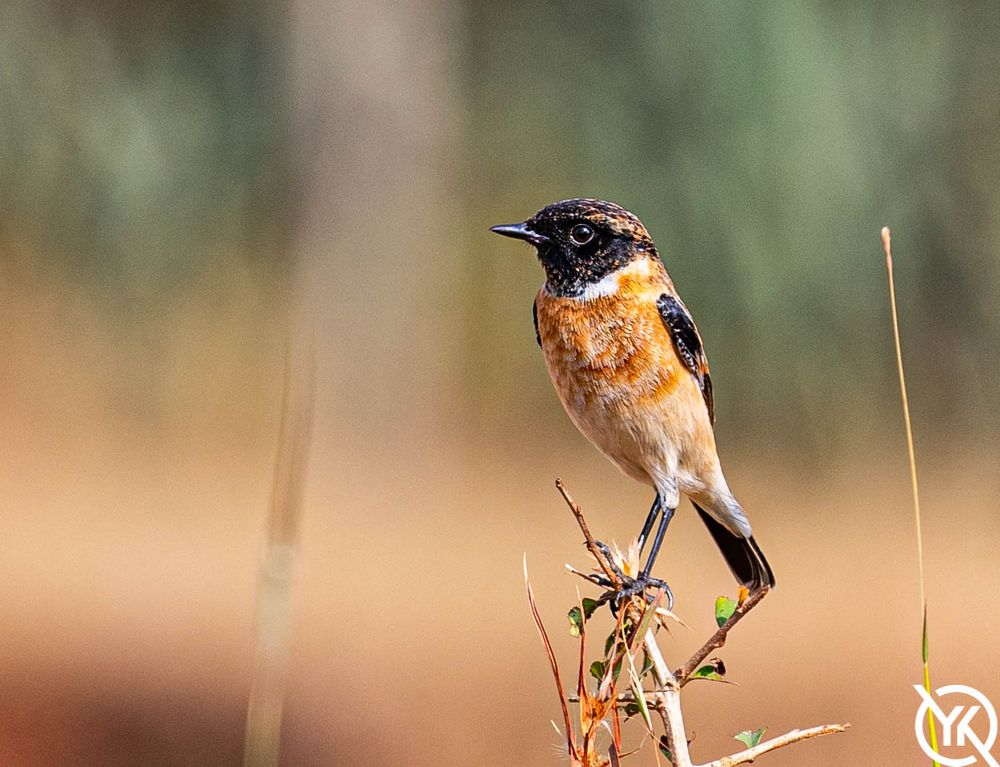 Photo in Animal #stonechat #wild life #flowers #nature #birds #animals
