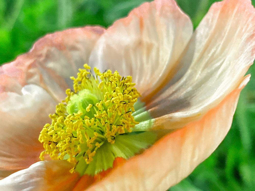 Photo in Nature #autumn #iceland poppy #summer #peach #nature #beauty inn nature #closeup #iphone11