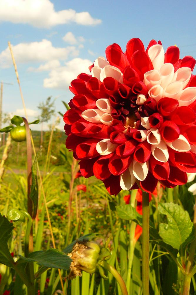 Photo in Nature #white #red #flower #nature #poland #polish #blue #sky #beauty #visitcontest