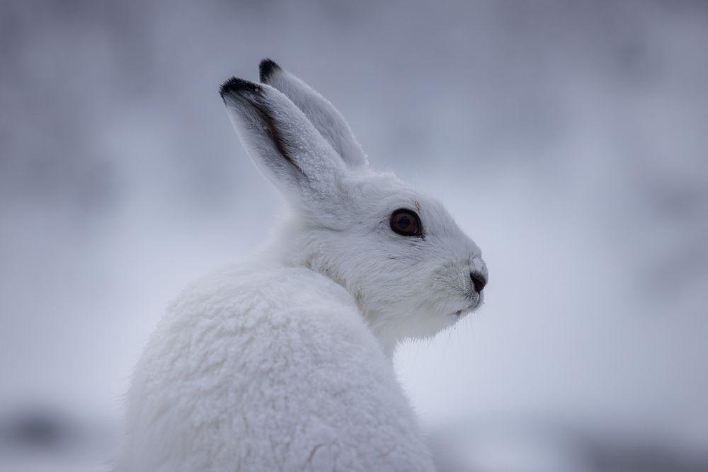 Photo in Animal #mountain hare #winter #hare