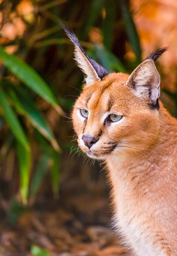 Photo in Animal #caracal #wild cat #africa #tufted ears